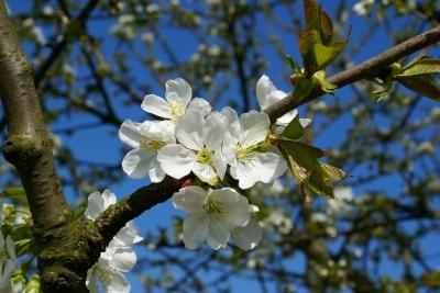 Weisse Apfelblüten2