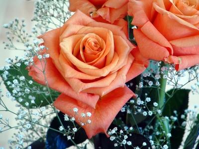 hellrosa Rose umringt von weissen Blüten