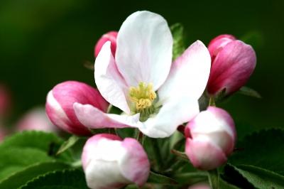 Rosa Apfelblüte 2