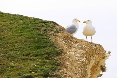 seagulls in love