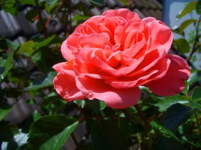 Erblühte Rose 2