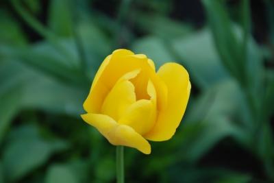 Tulpen 08