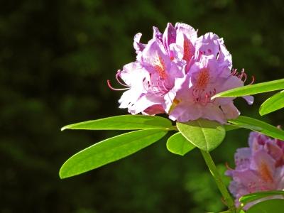 Rhododendron-Solitär im Garten