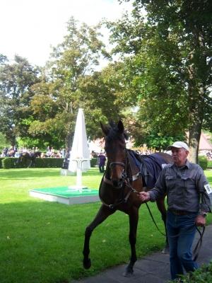 Pferd vor dem Rennen im Führring