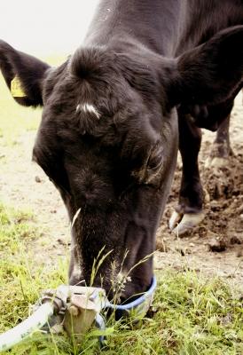 Muh-Kuh hat Durst