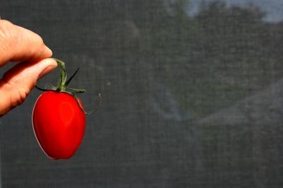 Tomaten 49