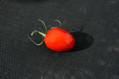 Tomaten 50