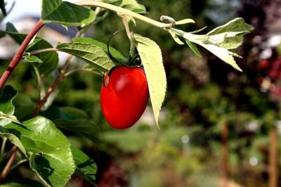 Tomaten 52