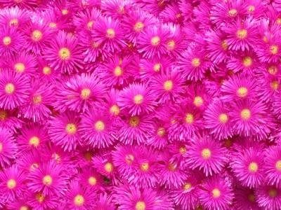 Meer von violetten Blumen