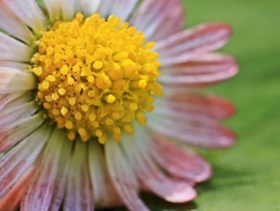 Riesen-Gänseblümchen ;-)