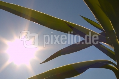 Yucca im Frühabendlicht