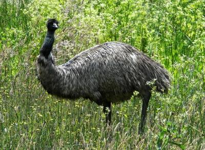 Australischer Emu