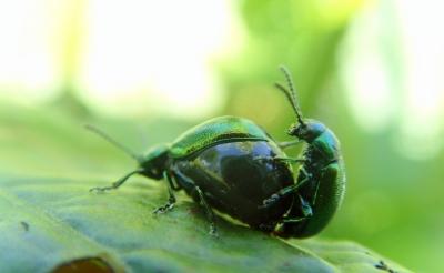 Grüner sauerampferkäfer