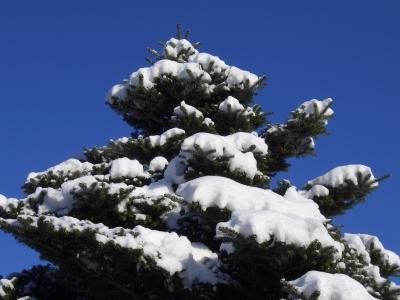 Schneebelastete Tanne