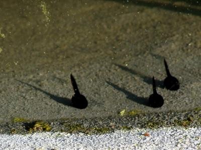 Kaulquappen sonnen sich in der Sonne