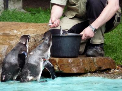 Fütterung der Pinguine