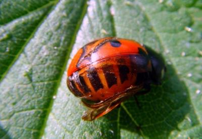 Gestreifter Marienkäfer? Nein - Harlekinkäfer schlüpft aus der Verpuppung