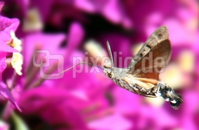 Kolibrifalter