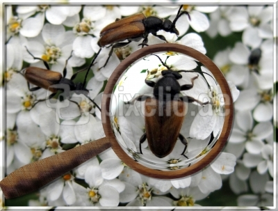 Käfer auf Schafgarbe
