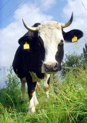 Kuh unter Strom