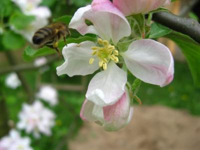 Eilige Biene