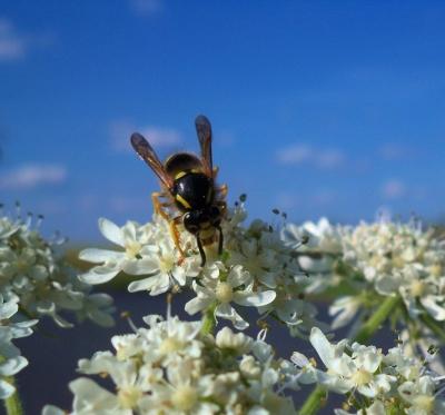 Wespenschmaus