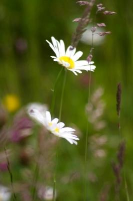 Wiesenblumen Blumenwiesen