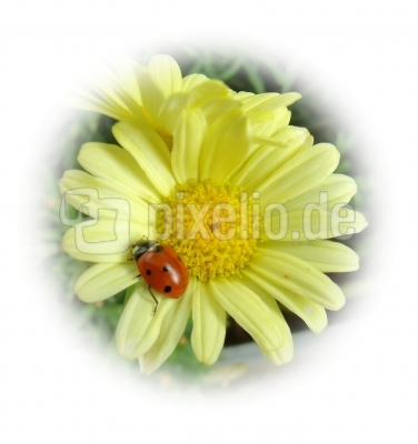 Marienkäfer  auf gelber Magarite