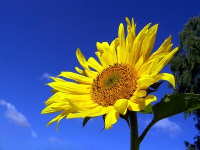 Sonnenblume 7