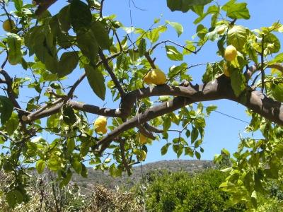 kreta ...zitronenbaum