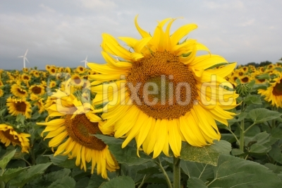 Sonnenblume und Windenergie