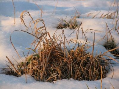 Grasbüschel in der Wintersonne