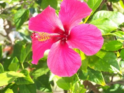 Blume Hibiskus