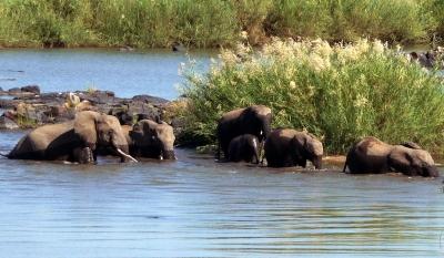 Elefanten überqueren den Letaba-River