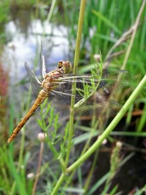 kleines biotop......libelle
