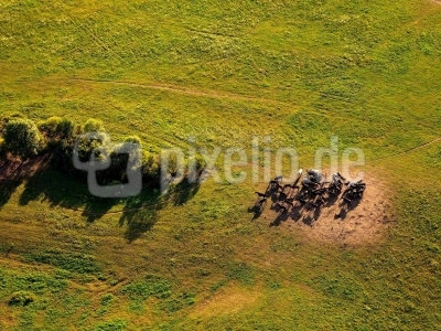 Pferde auf der Weide -  Luftbild