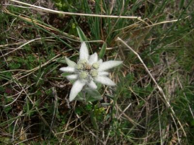 Blumen auf den Alpwiesen / 9