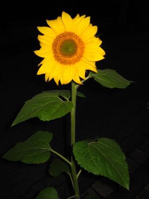 Sonnenblume bei Nacht