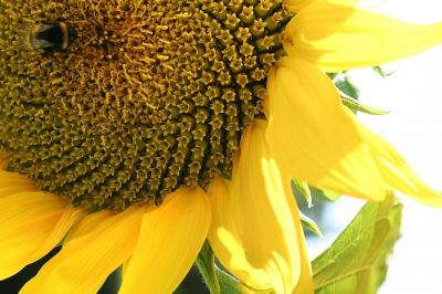 Erdhummel in der Ecke // Sonnenblume