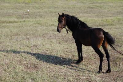 Pferd in der Donaudelta
