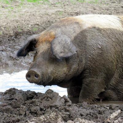 Rotbraunes Husumer Schwein vom Lütjensee im Grossraum Hamburg