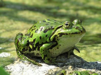 fetter Frosch