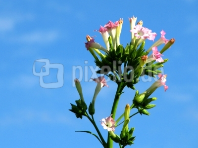 Tabakpflanzenblüte 2 (Tuniberg)