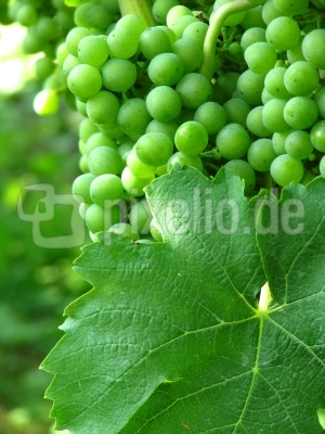 junger Weisswein mit Weinblatt hoch