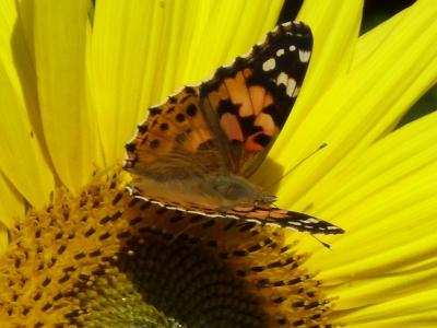 Schmetterling auf Sonnenblume