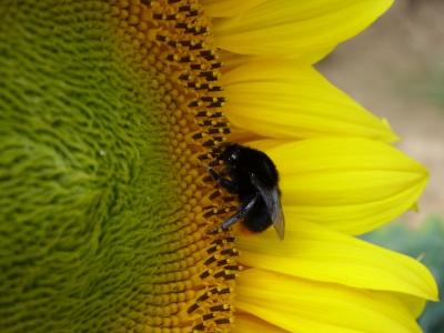 Sonnenblume mit Hummel 1