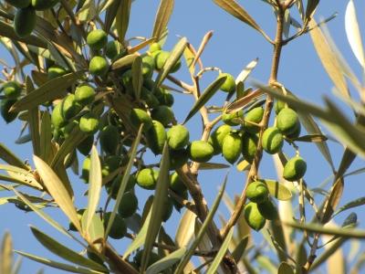 Noch unreife Oliven