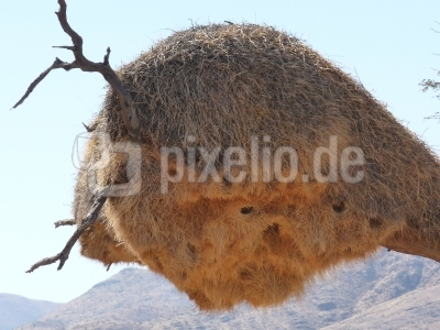 Nestkolonie der Siedelwebervögel (Namibia)