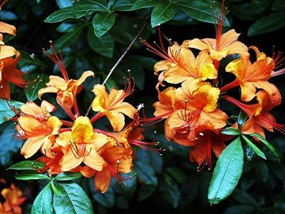 Gelborangefarbige Azaleenblüten