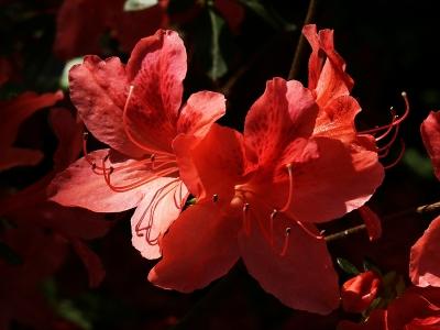 Rote Azaleenblüten 2